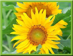 Sunflower (Jur-) Tags: summer two flower macro green leaves yellow japan nikon framed sunflowers superhot naturesfinest blueribbonwinner supershot mywinners abigfave impressedbeauty goldenphotographer diamondclassphotographer flickrdiamond