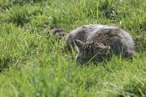 Felis silvestris silvestris avec collier émetteur
