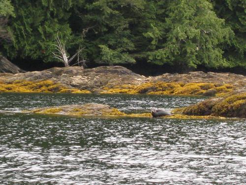 Harbor seal at Ketchikan