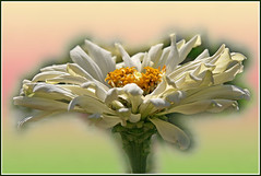 zinnia (Lyubov) Tags: flowers flower macro nature ilovenature searchthebest zinnia aclass thebiggestgroup mywinners abigfave mywiners aplusphoto superbmasterpiece diamondclassphotographer flickrdiamond excellentphotographerawards flowerwatcher