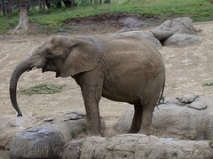 Elephant getting water (Geodog) Tags: zoo jacob oaklandzoo requists
