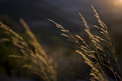 Golden echo (macropoulos) Tags: sunset grass topf50 500v20f bokeh 500v50f canonef35mmf2 naturesfinest 1000v40f abigfave canoneos400d anawesomeshot 50faves50comments500views superbmasterpiece goldenphotographer diamondclassphotographer flickrdiamond theunforgettablepictures excapture