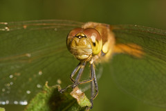 "Common Darter Dragonfly (Sympetrum s(62) • <a style=""font-size:0.8em;"" href=""http://www.flickr.com/photos/57024565@N00/1386119913/"" target=""_blank"">View on Flickr</a>"