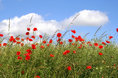 Eine Ahnung von Sommer (Karlshorsterin) Tags: blue red summer green rot nature field clouds landscape sommer natur feld wolken poppies grn blau landschaft gutelaune niceweather mohnblumen schneswetter updatecollection