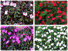 Collage of colourful blooms of Impatiens walleriana (Touch-me-not, Jewel Weed, Sultana, Busy Lizzy/Lizzie, Patience Plant, Zanzibar Balsam)