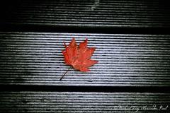 Autumn 2010 (Michael--Paul) Tags: autumn red black fall japan leaf board picnik misawa greay coloraccent parkwoodswanpark