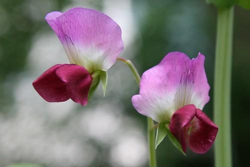 pink pea flowers