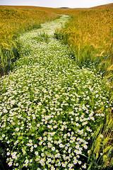 072007 (austinspace) Tags: summer cloud flower field landscape day cloudy farm wheat daily explore daisy perday imnotsurethisisdaisies butilikethesoundofdaisyriver