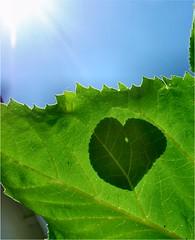 Leaf on a Leaf Shadow (Lara's  Stuff) Tags: shadow sunlight leaves leaf youcantseeme leafshadow morninggloryleaf sunflowerleaf sunlitleaves leafonaleaf