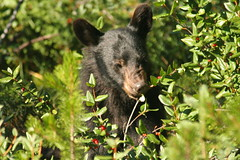 Bear eating berries Jasper National Park Canada (alanrharris53) Tags: bear canada rockies blackbear tamronspaf200500mmf563dildif