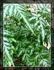 Pteris ensiformis cv. Evergemiensis (Silver Lace Fern)