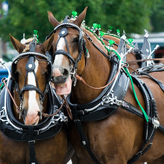 Talking Horse (Enzyme_00) Tags: horses horse irish canon statefair indiana fair indianastatefair talkinghorse looselips belgiums indiananpolis canon70200mmf4lis