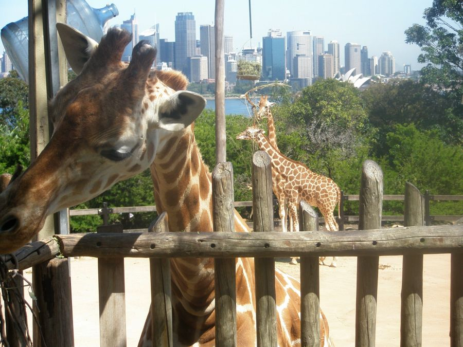 giraffe900