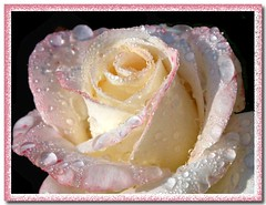 Rose after rain (Lyubov) Tags: drop drops roses rose ilovenature thebiggestgroup nature rain queenrose excellence worldbest empyreanflowers beautiful mywinners fabulousflowers naturesfinest ysplix diamondclassphotographer flickrdiamond platinumphoto wow excellentflowers damncool lovelyflowers searchthebest shieldofexcellence soe superaplus bec aplusphoto theunforgettablepictures supershot