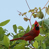 As we were leaving the Tressel Trail, this Northern Cardinal was hoping around in this tree, tryi...
