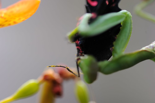螳螂捕蝶 020