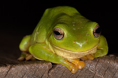 Happy Frog! (ross_coupland) Tags: tree green smiling sticky amphibian frog slimy