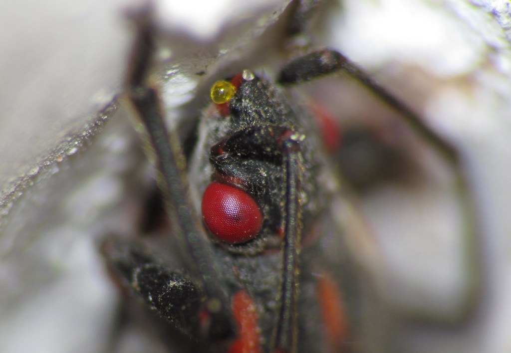 Might That Be A Mite on this Boxelder Bug's Nose Canon SX30 IS & Raynox DCR-250 & Lensmate SX30 58mm Filter Adapter IMG 0343