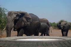 Elephants in the Road, Chobe National Park, Botswana.