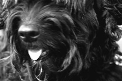 Tommy 064 (Amigrante Nnimo) Tags: dog chien cane fur hond tommy perro hund pelo badbreath peludo elmejoramigodelhombre malaliento muchopelo elmejoramigodestehombre