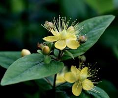 Hello Sunshine (Mandana (on and off)) Tags: macro green nature yellow garden soe excellence naturesfinest abigfave aplusphoto diamondclassphotographer flickrelite