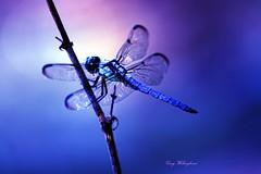 Blue (cwhambone) Tags: nature mississippi dragonfly explore supershot mywinners impressedbeauty aplusphoto impressedbyyourbeauty onlyyourbestshots envyofflickr ysplix ljomiarayoflight excapture gradeaphoto