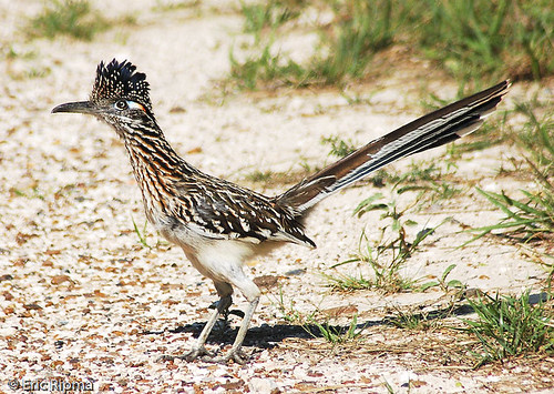 Greater Roadrunner by Eric Ripma