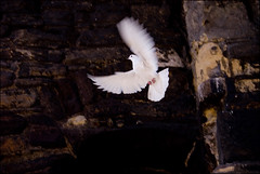 dove (Nils Jorgensen) Tags: white colour bird flying dove flight streetphotography citywalls flyingrat whitedove nilsjorgensen foroscar monotonecolour
