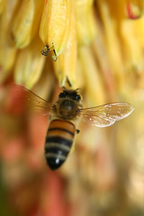 Hovering Bee - by aussiegall