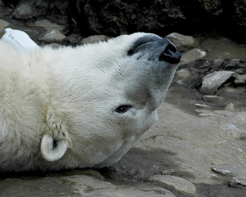 Why is my world upside down? -- nature bear animal zoo polar polarbear watcher ucumari carolina 2007 ursus ursusmaritimus