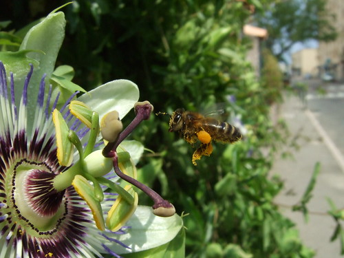 Passion flower + bee