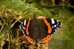 "Red Admiral Butterfly (Vanessa atala(24) • <a style=""font-size:0.8em;"" href=""http://www.flickr.com/photos/57024565@N00/1331425669/"" target=""_blank"">View on Flickr</a>"