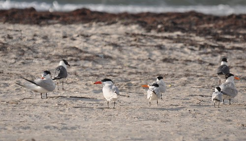 Assortment of Terns
