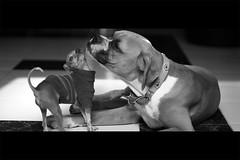 Friends (Shuuyy) Tags: blackandwhite dog pets white chihuahua black amigos blancoynegro dogs mexico boxer perros mx mascotas amistad compañeros canonef50mmf18ii