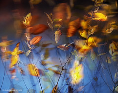 windy fall impression (marianna a.) Tags: blue autumn brown canada motion blur fall leaves collage composite photoshop gold leaf movement bush heart wind quebec panasonic foliage translucent imagemanipulation layered naturesbeauty alberoefoglia allphotosxpressus treeandleaf lumixg1 visionquality mariannaarmata