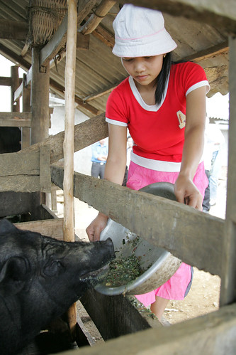 Smallholder pig production in northern Viet Nam