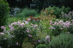 Garden (Hans Olofsson) Tags: roses garden småland trädgård rosor bonica skammelstorp swedenbonica trädgård20090806