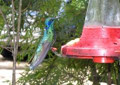 verdemar( colibri thalassinus)