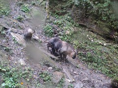 Takin (eMammal) Tags: takin wolong budorcastaxicolor geo:lon=30873 taxonomy:common=takin sequence:index=1 sequence:length=1 otherhoovedmammals taxonomy:group=otherhoovedmammals siwild:study=wolongcameratrapsurvey siwild:studyId=wolongbaitedsets geo:locality=china siwild:plot=wolong siwild:location=lwwl08811a siwild:camDeploy=chinadeploy194 geo:lat=103173 taxonomy:species=budorcastaxicolor siwild:date=200809271232000 siwild:trigger=wwl08811a01109 siwild:imageid=wwl08811a01109 sequence:id=wwl08811a01109 file:name=wwl08811a01109jpg sequence:key=1 file:path=dchinachinacameraimagedigitalafter2008wolongnaturereservewwl08811a01wwl08811a01109jpg siwild:region=china BR:batch=sla0620101119044543 siwild:species=12