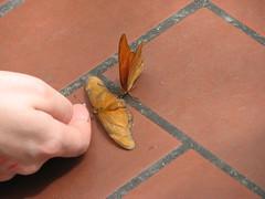 orange bflies