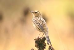 Nilgiri pippit (Kaippally:) Tags: sh threatenedspecies anthus nilgiripipit nearthreatened fbwnewbird fbwadded anthusnilghiriensis