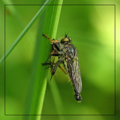 robber fly - by Marko_K