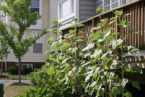 sunflowers against the deck