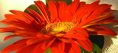 Time is ticking away ... (Nenova) Tags: birthday red flower gerbera naturesfinest timeistickingaway
