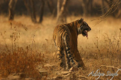 Flehmen response in wild tiger (dickysingh) Tags: wild india nature outdoor wildlife bigcat aditya predator ranthambore singh bengaltiger ranthambhore dicky wildtiger flehmen specanimal ranthambhorebagh adityasingh dickysingh ranthamborebagh theranthambhorebagh snarlingtiger