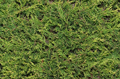Connifer Background (PICDISK | Stock Photo Backgrounds) Tags: pictures plants plant abstract detail tree green texture nature horizontal closeup garden landscape photography photo bush pattern flat natural bright image photos background border picture sunny images foliage textures evergreen hedge stems fir backgrounds greenery cypress verdant rough boundary bushes stalks coniferous imagery conifer bushy hedging picdisk