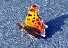 me and my shadow (Comma Polygonia c-album) (Frozen in Time photos by Marianne AWAY OFF/ON) Tags: butterflies insects fbi comma naturesfinest polygoniacalbum splendiferous greencomma flutteryfriday nationalgeographicwannabes impressedbeauty impressedbyyourbeauty favoritesbyinterestingness splendiferousinvitationonly nationalgeographiswannabes