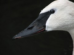 Trumpeter Swan (barrowfordian) Tags: birds swan wildlife waterfowl trumpeterswan naturesfinest largebirds mywinners onephotoweeklycontest