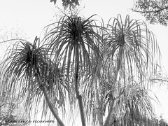 beaucarnea recurvata (YAZMDG (16,000 images)) Tags: cactus bw plants black tree sepia forest dark studio succulent lowlight noir gloomy y noiretblanc tint nb sombre nsw ambient grasses blackout yaz obscure obscur melancholic absence shadowy melancholie lacunae beaucarnearecurvata lacune nswrfp yazminamicheledegaye northernriversspecies yazmdg obscuritee
