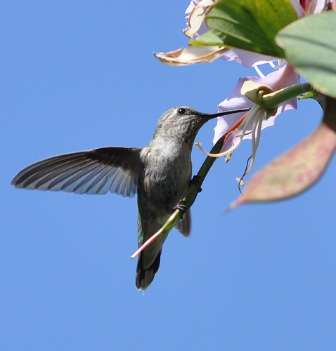 Hummingbird drinking from a tree flower
